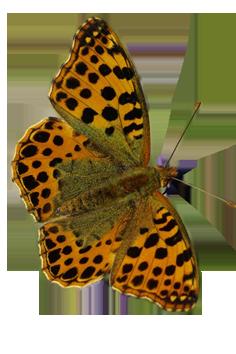 Papillon - PNG
